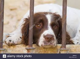 springer spaniel lying down looking sad stock photo royalty free