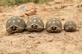 tortoises make terrible pets u2014especially when they u0027re poached from