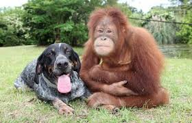 bluetick coonhound youtube blue tick hound photo suryia the orangutan and roscoe the