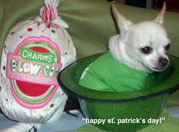 st patricks day famous chihuahua