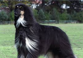 belgian shepherd health problems afghan sheepdog afghan hound and belgian sheepdog mix