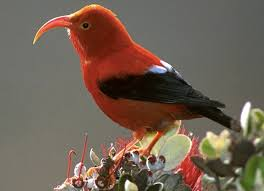 Hawaii birds images Invasive species control threatens endangered native birds the png