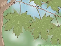 3 ways to identify sugar maple trees wikihow