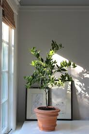 Winter Indoor Garden - winter is coming how to keep an indoor citrus tree happy winter