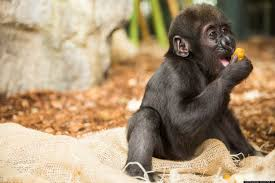 Lights At Lincoln Park Zoo by Lincoln Park Zoo Baby Gorilla Thriving After Major Injury U0027acting