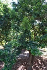 friends of peacehaven botanic park inc new members new plants plum pine brown pine podocarpus elatus over 10m trees