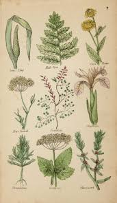 Sweet Flag Herb 29 Best Hand Coloured Prints And Vintage Plates Images On