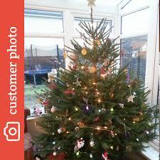 christmas trees bury st edmunds christmas tree nordmann fir