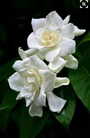 269 best gardenias bello jazmin con rico perfume images on