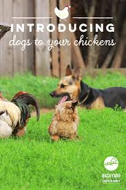 30 best dogs love chickens images on pinterest chicken