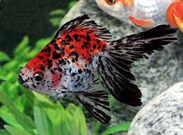 ryukin goldfish fancy goldfish care information and pictures