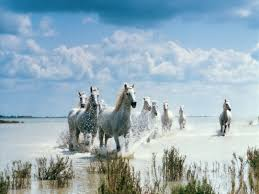 camargue white horse wallpapers white horses 7030873