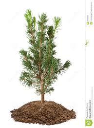 spruce sapling stock photo image of coniferous 29639660