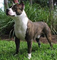 american pitbull terrier types american pit bull terrier breed