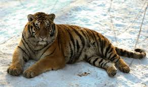 is the white tiger back a tiger mauls to near