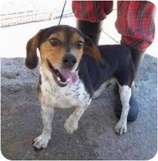affenpinscher missouri beagle boy adopted dog lexington mo beagle basset hound mix