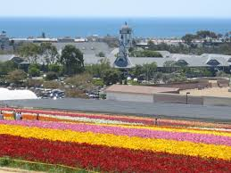 san diego flowers carlsbad flower fields tourguidetim reveals san diego