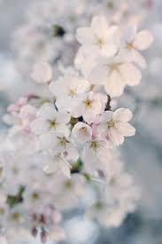 Spring Flower Pictures Crabapple Blossoms Fotos Imagenes Pinterest Cherry