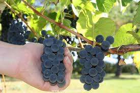 How To Grow Grapes In Your Backyard by How And When To Harvest Grapes Gettystewart Com