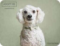 affenpinscher arizona chandler az poodle miniature mix meet felix a dog for