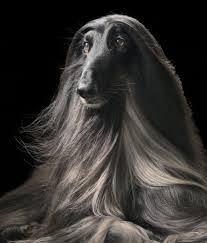 afghan hound dogs 101 10 cool facts about afghan hounds afghan hound