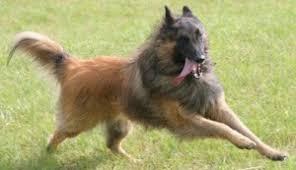 belgian sheepdog apartment the belgian shepherd dog the dogs