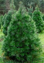 white pine trees white pine tree pine valley christmas trees wreaths and crafts