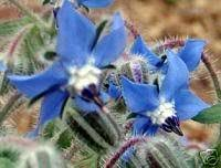 edible blue flowers seedville borago officinalis blue borage edible