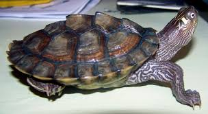 Texas Map Turtle Baby Water Turtles Breed Female Male Best Fish Page 2