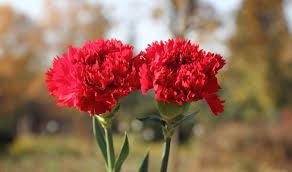 carnations 4 jpg