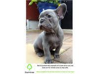 belgian shepherd for sale ireland puppies in northern ireland dogs u0026 puppies for sale gumtree