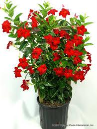 Mandevilla Plant Diseases - mandevilla tropical breeze u0027velvet red u0027 ppaf