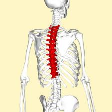 Anatomy Of Human Body Bones Thoracic Vertebrae Wikipedia
