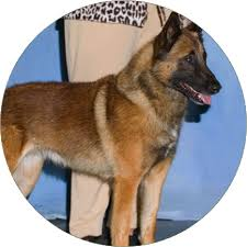 belgian shepherd dog temperament belgian malinois dog breeds iams