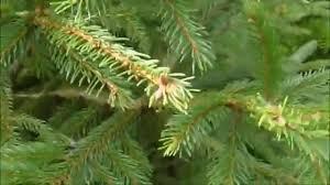 nordman fir v spruce christmas tree youtube