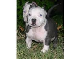 american pit bull terrier brindle american pit bull terrier puppies for sale blue brindle pups