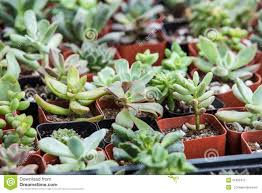 small succulent plants in pots stock photo image 51682412