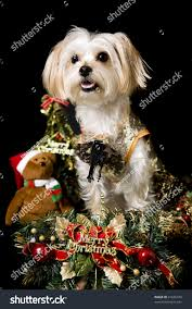 christmas dog maltese terrier christmas ornaments stock photo