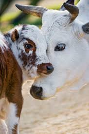 best 25 pet cows ideas on pinterest cow highland cattle and