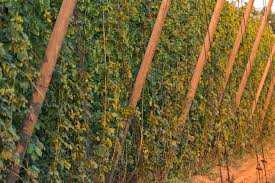 Trellis System Hops Conference To Feature New Harvester Prototype Trellis System