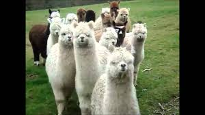Alpaca Sheep Meme - alpaca funny clique walking youtube