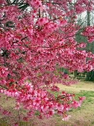 73 best best trees for alabama images on pinterest alabama