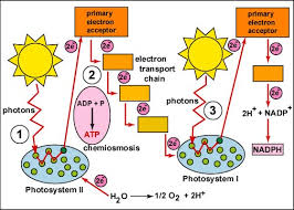 What Happens During The Light Reactions Of Photosynthesis Photosynthesis Light Reactions
