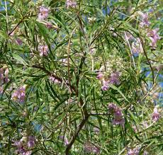 native desert plants caring for desert willows u2013 learn how to grow a desert willow tree