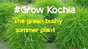 how to grow kochia burning bush ornamental kochia scoparia grass
