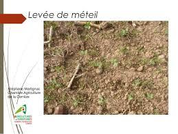 chambre agriculture correze du méteil en grains pour l alimentation des brebis et des agneaux