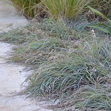 aussie ornamental grass gardens