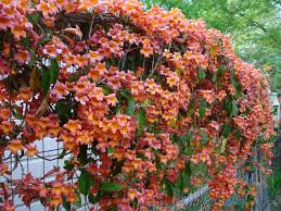 Non Invasive Climbing Plants - 49 best shade plants for austin tx zone 8 images on pinterest