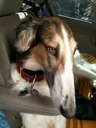 afghan hound collie mix borzoi dog info mixes temperament training puppies pictures