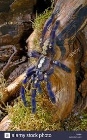 gooty sapphire ornamental tree spider gooty sapphire gooty stock